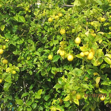 Lemon Tree in San Jose, CA by AuntieBarbie