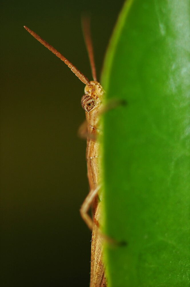 Peeking Grasshopper by Brayden Howie