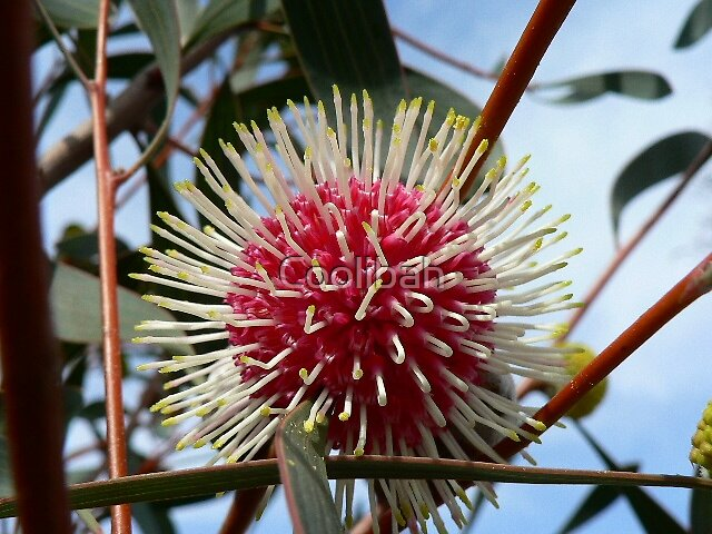 Hakea by Ruth Anne  Stevens