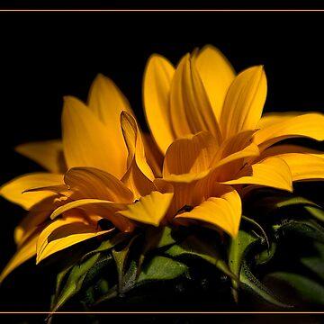 Sunflower by valentina9