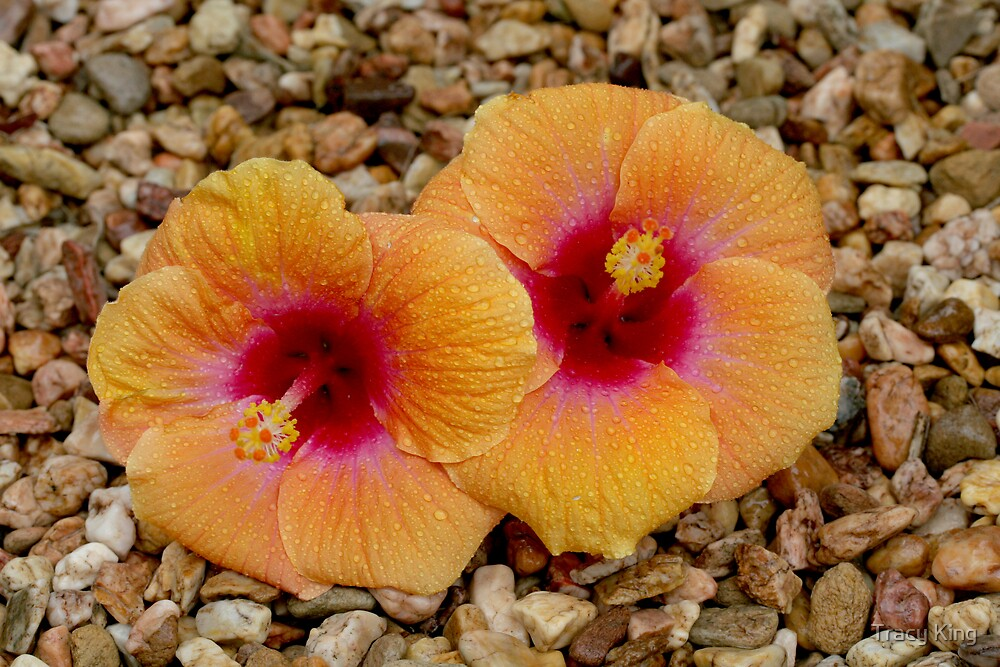 hibiscus by Tracy King