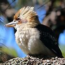 Kookaburra by Doug Cliff