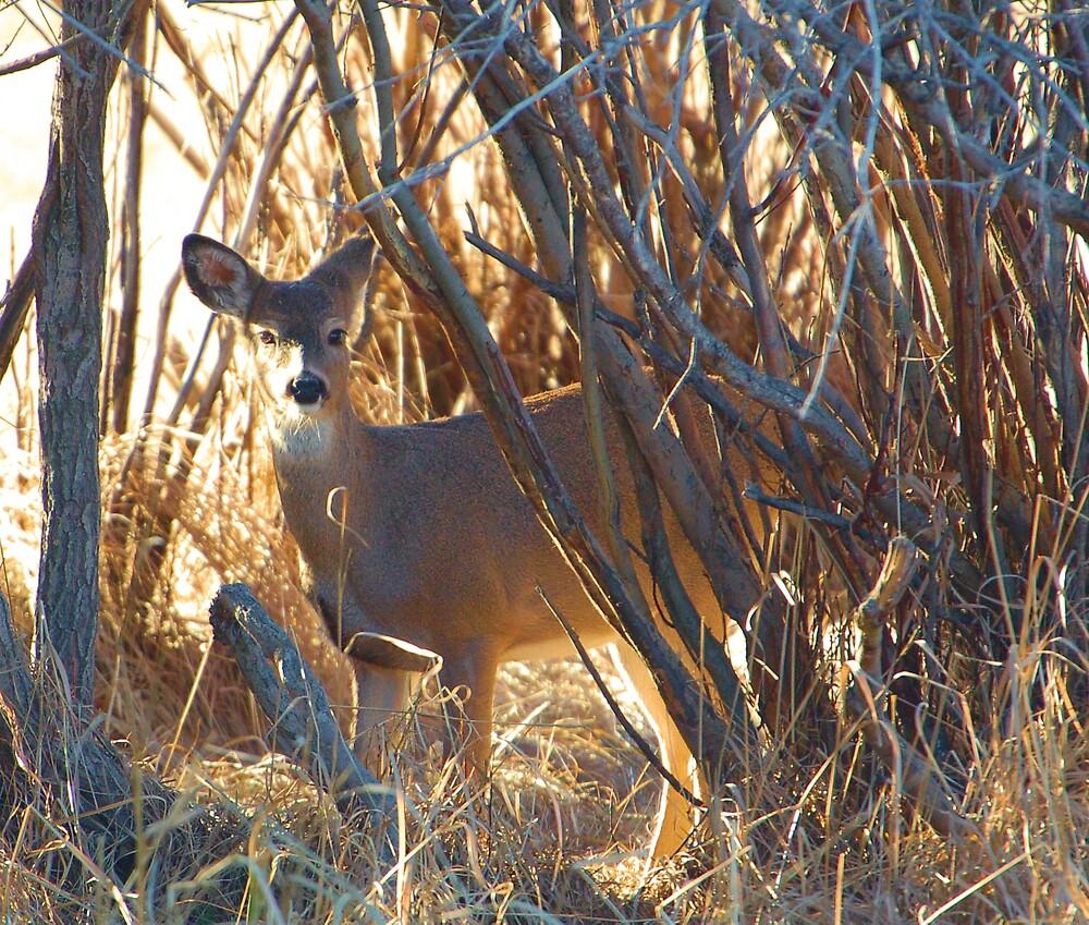 Doe Mule Deer by postmsterjim0