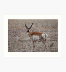 Antelope Buck Art Print