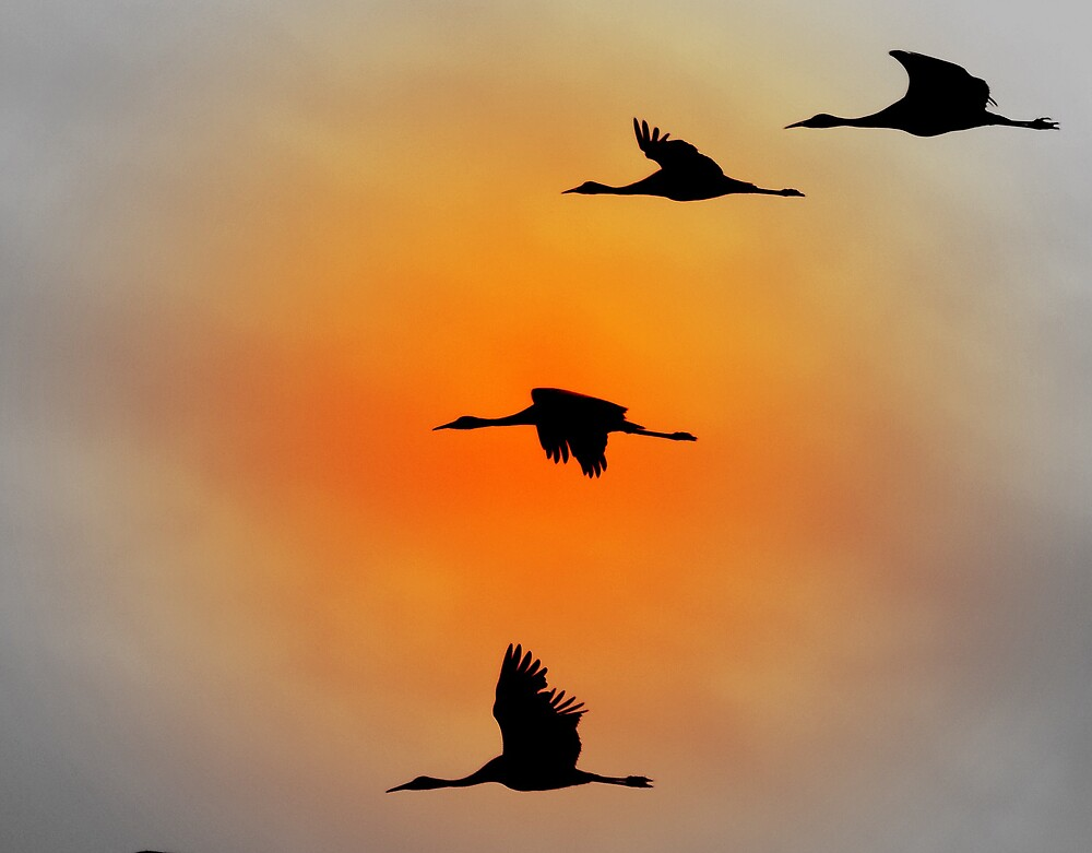 Flight Of The Sandhill Cranes by postmsterjim0