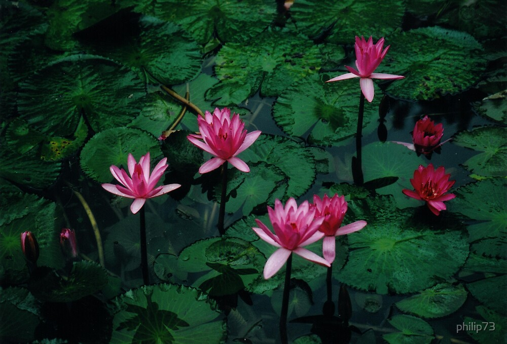 Lillies in tropical North Queensland by philip73