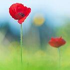 Red poppies by César Torres