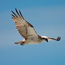 Magnificent Osprey by AdamDonnelly