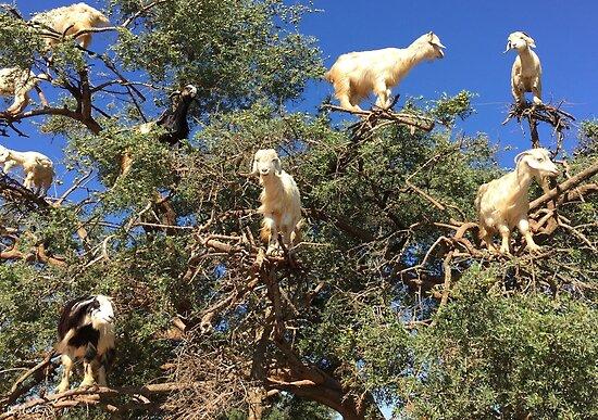 Goats in an argan tree by AHELENE