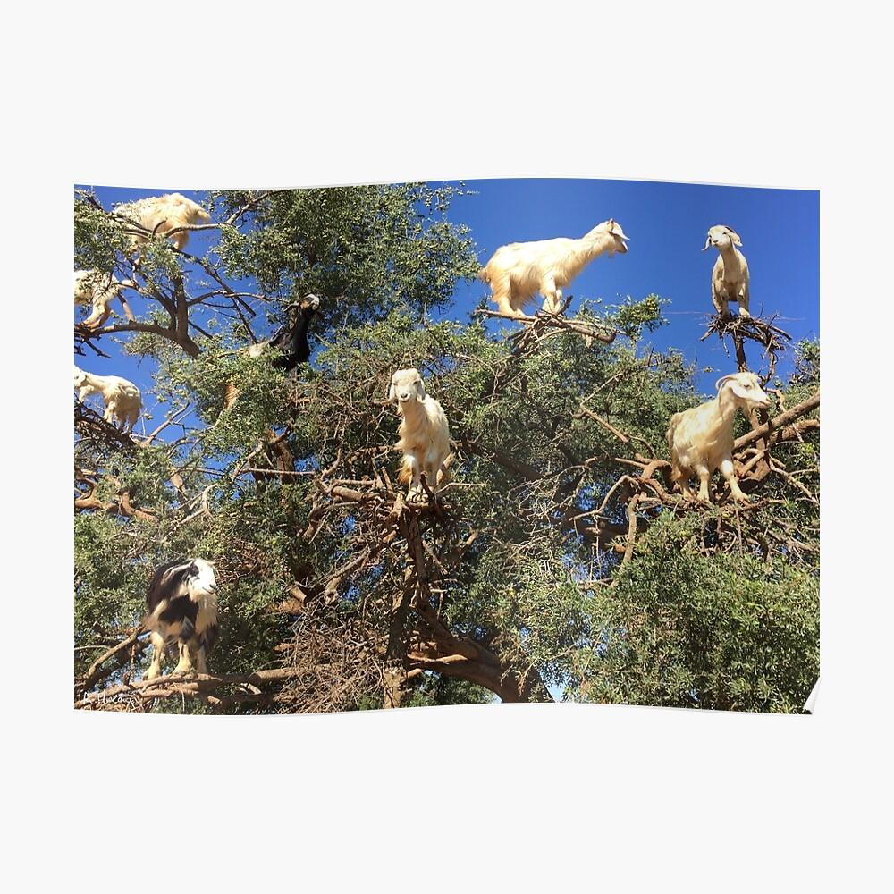 Goats in an argan tree Poster