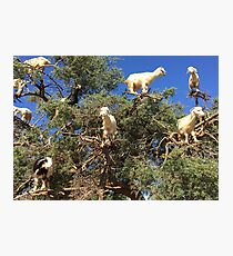 Goats in an argan tree Photographic Print