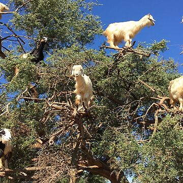 Goats in an argan tree by AHELENE