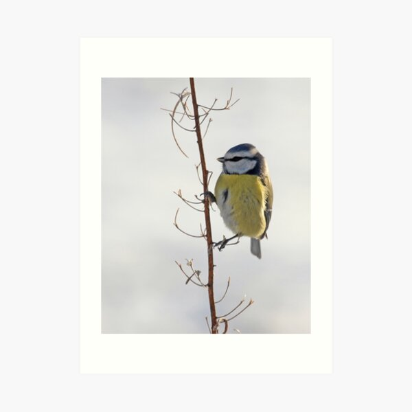 Blue Tit in winter Art Print