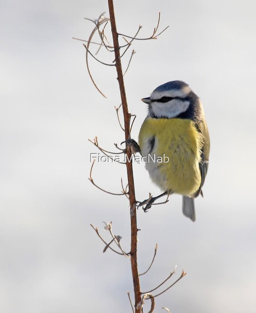 Blue Tit in winter by Fiona MacNab