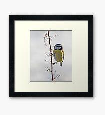 Blue Tit in winter Framed Print