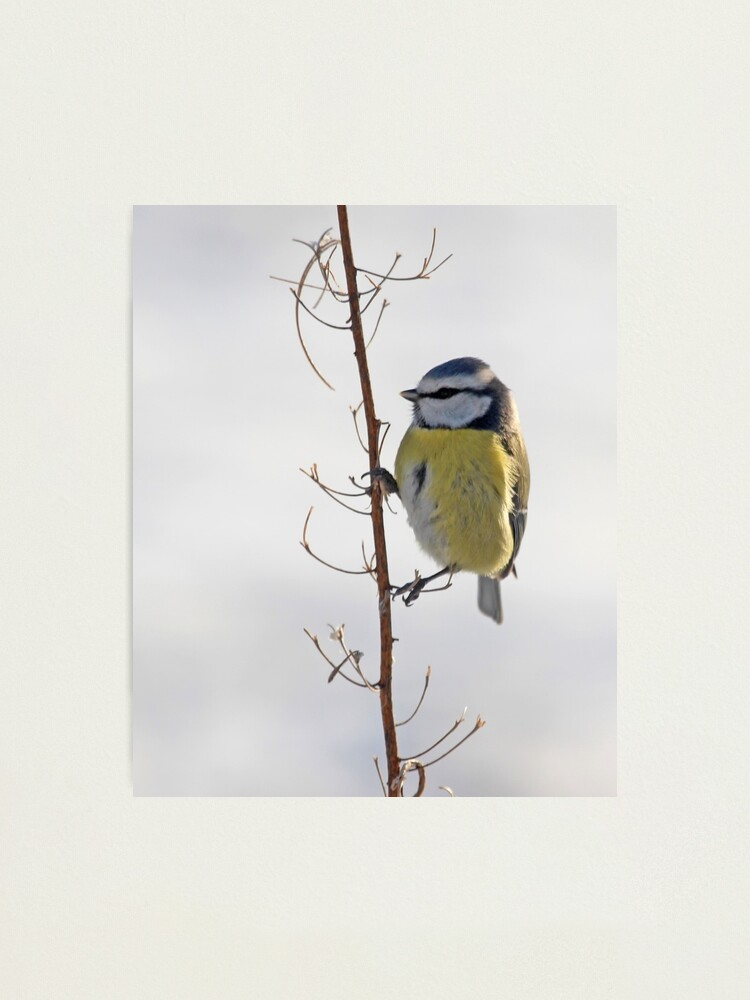 Alternate view of Blue Tit in winter Photographic Print