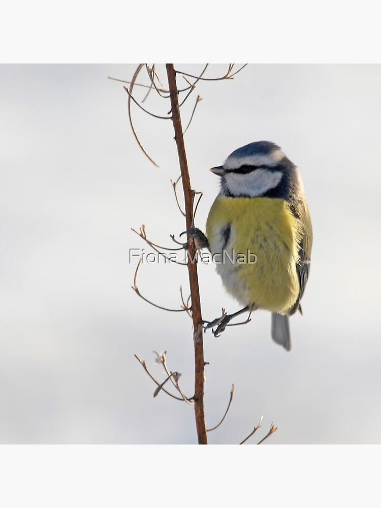 Blue Tit in winter by orcadia