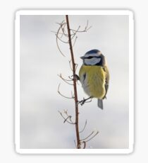 Blue Tit in winter Sticker