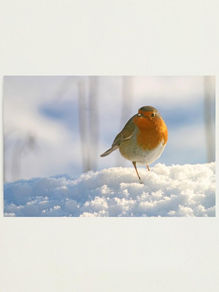 Alternate view of Winter robin Photographic Print