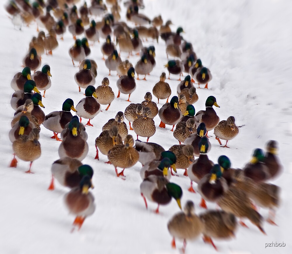 Duck parade by pzhbob