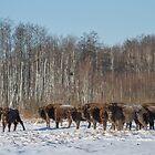 Bison Herd by Dominika Aniola