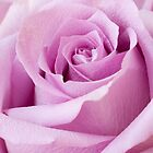 Lavender Rose Just About Perfect  by Sandra Foster