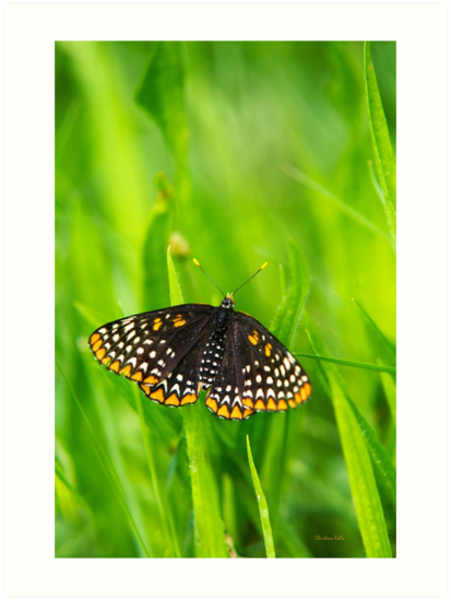Baltimore Checkerspot Butterfly  by Christina Rollo