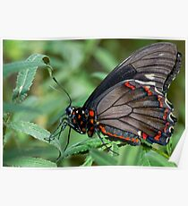 Zebra Longwing butterfly. Poster