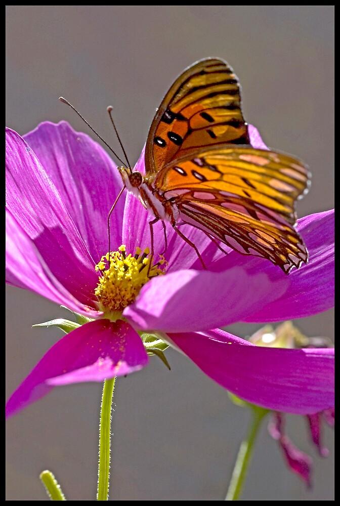 Gulf Fritillary Butterfly. by Eyal Nahmias