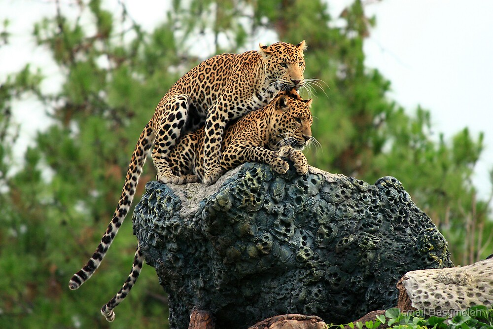 A couple of Java Leopard by Ismail Basymeleh