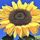 Yellow Sunflower by TinaGraphics