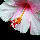 Hibiscus Tears by Michael Reimann