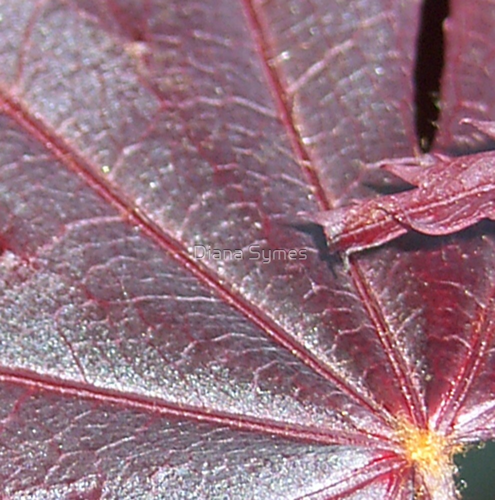 Acer Star by Diana Symes