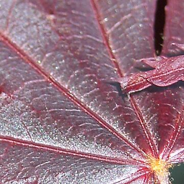 Acer Star by djsnooty
