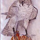 Peregrine Falcon (Falco peregrinus) by Maree Clarkson