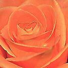 Peach Rose by TinaGraphics