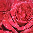 Verigated Red Rose by TinaGraphics