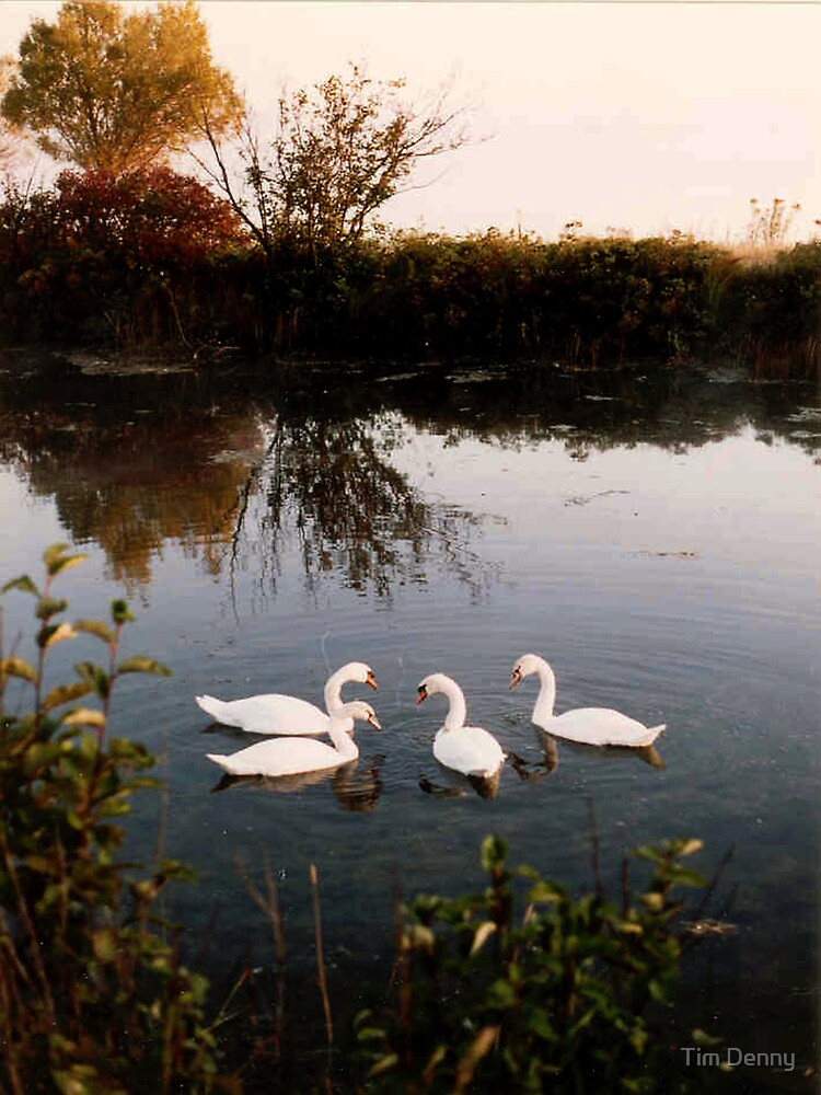 Seven swans a - swimming, well, 4 will do by Tim Denny