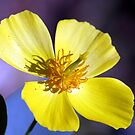 Yellow Cosmos Flower by DARRIN ALDRIDGE
