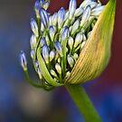 Agapanthus buds by Celeste Mookherjee