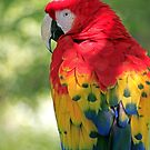 Redhead Parrot by Larry Costales