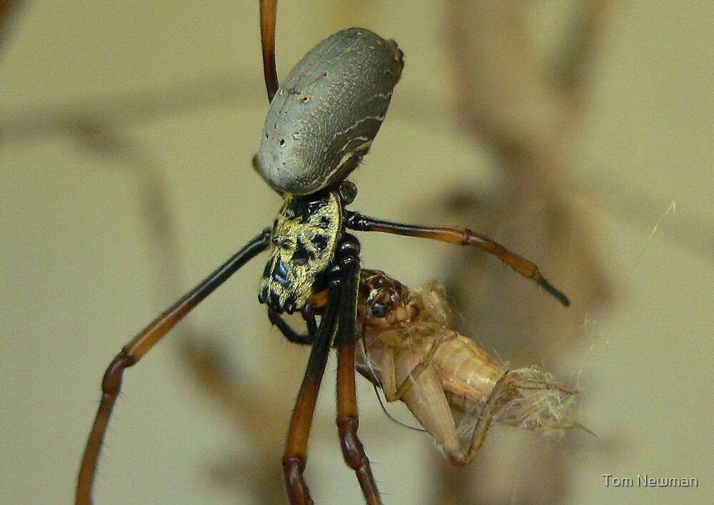 Golden Orb  Weaving Spider by Tom Newman