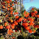 Orange Coprosma Berries, Cradle Mountain, Tasmania, Australia. by kaysharp