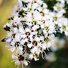Tea tree flowers by ~ Fir Mamat ~