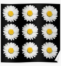 Nine Common Daisies Isolated on A Black Background Poster