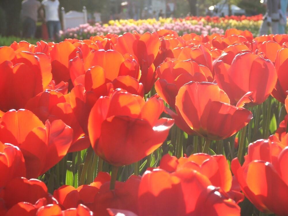 Tulips by Fiona Moran