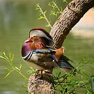 Mandarin Duck on Tree by Lucinda Walter
