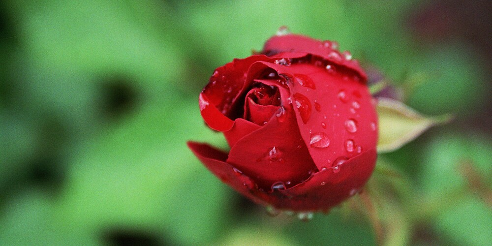 Raindrops on Roses, Salzburg by Leigh Penfold