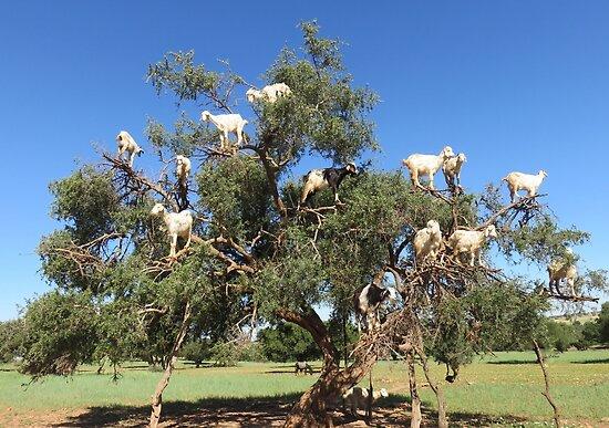 Ziegen in Bäumen von AHELENE