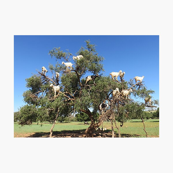 goats in trees Photographic Print